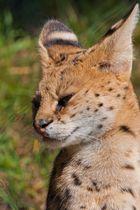Serval - mit Spitzohren