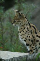 Serval sagt hallo, hier bin ich!
