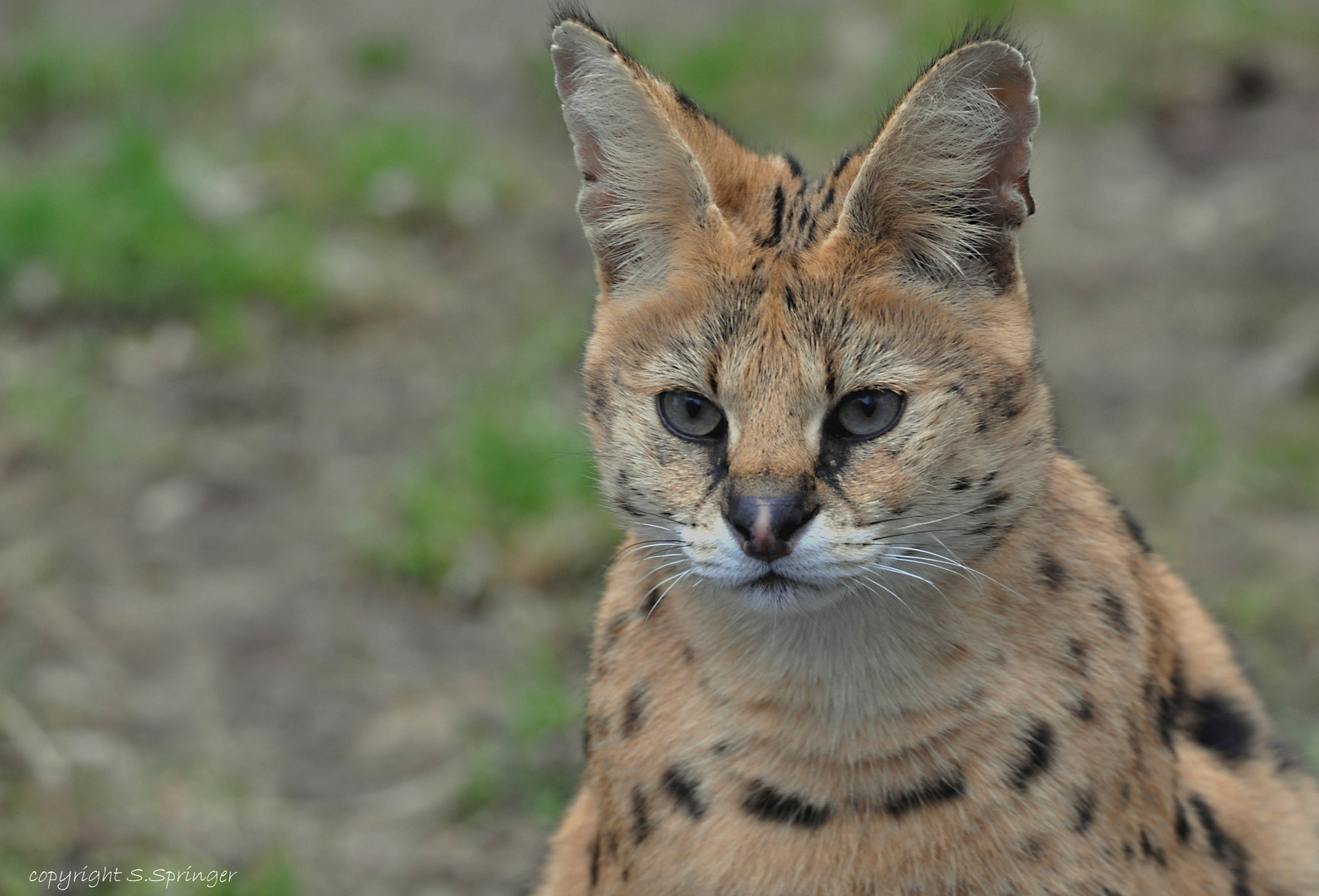 Serval (Wildkatze Afrikas)