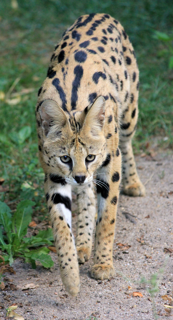 Serval Zoo Krefeld