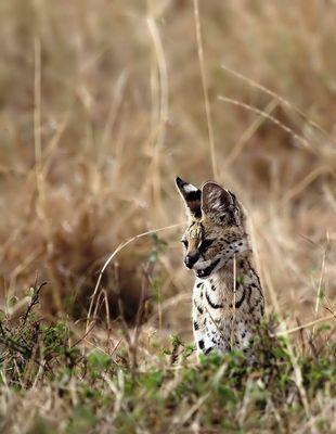 Servus Serval