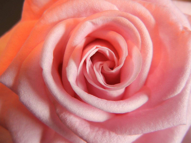 Sexy - Rose