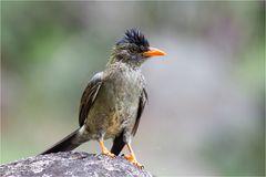 Seychellen-Bülbül