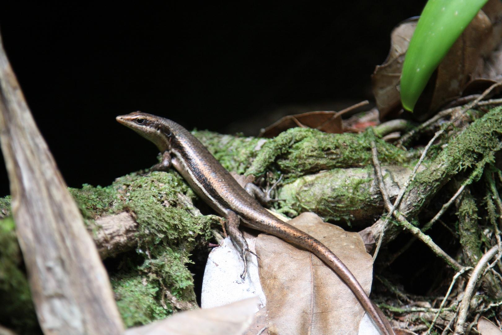 Seychellen Echse