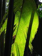 Seychellen- im Palmenurwald Vallee de Mai, Praslin