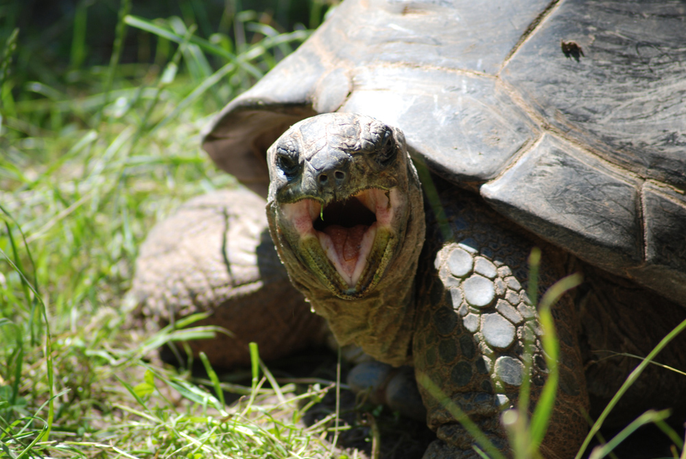 Seychellen-Riesenschildkröte aufgenommen im Vivarium in Darmstadt