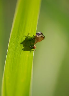 Shadow-Froggy....