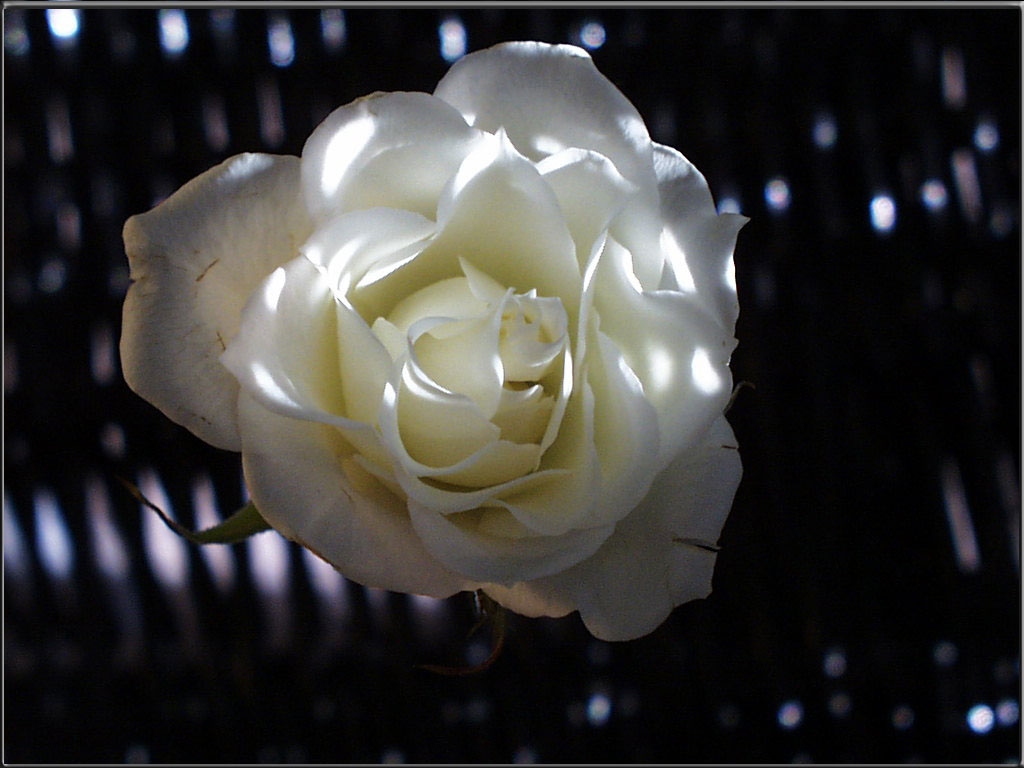 Shadows of Rose