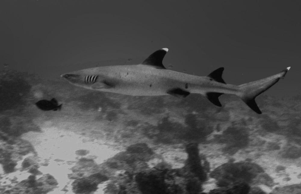 Shark Alive
