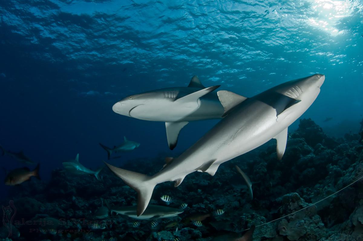 Shark-Unity