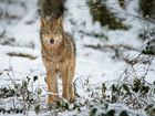 She wolf 4