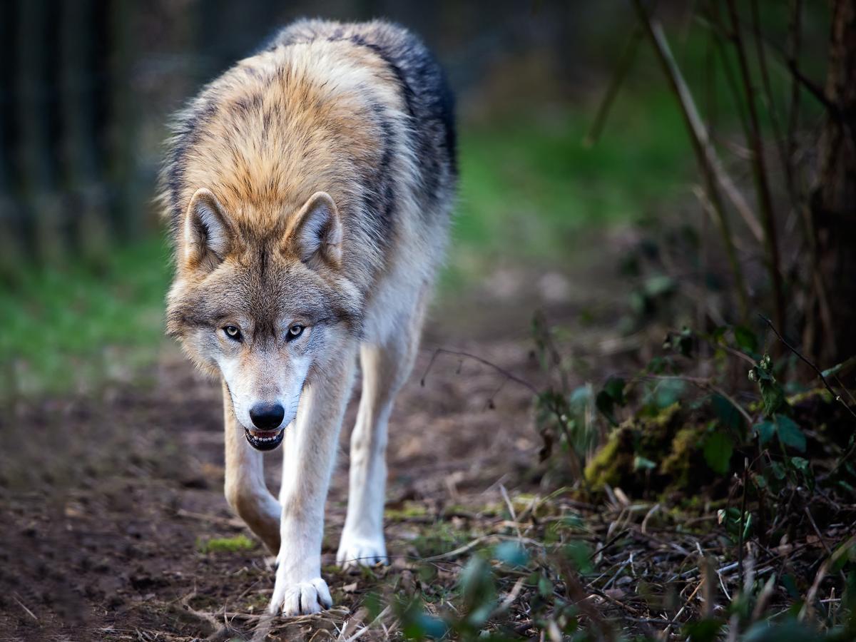 She wolf 5