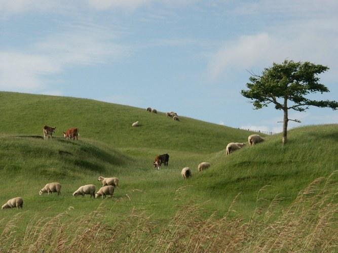 Sheep and Shape - Newzealand