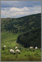 sheep beside carshope plantation 1b Cheviot Hills