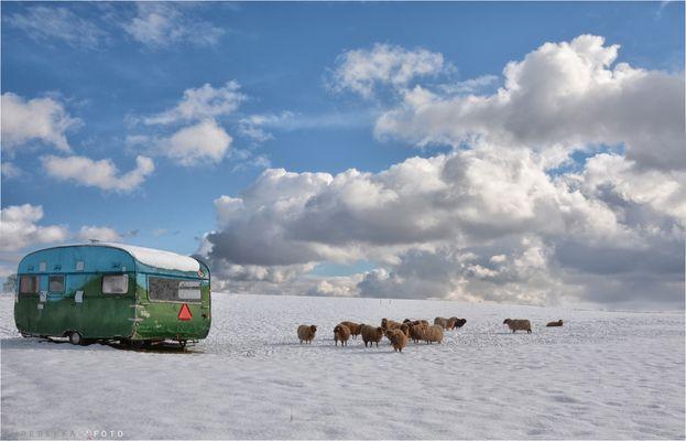 Sheep Camping