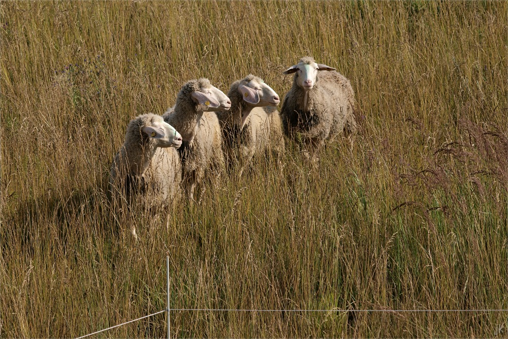 sheep ink.