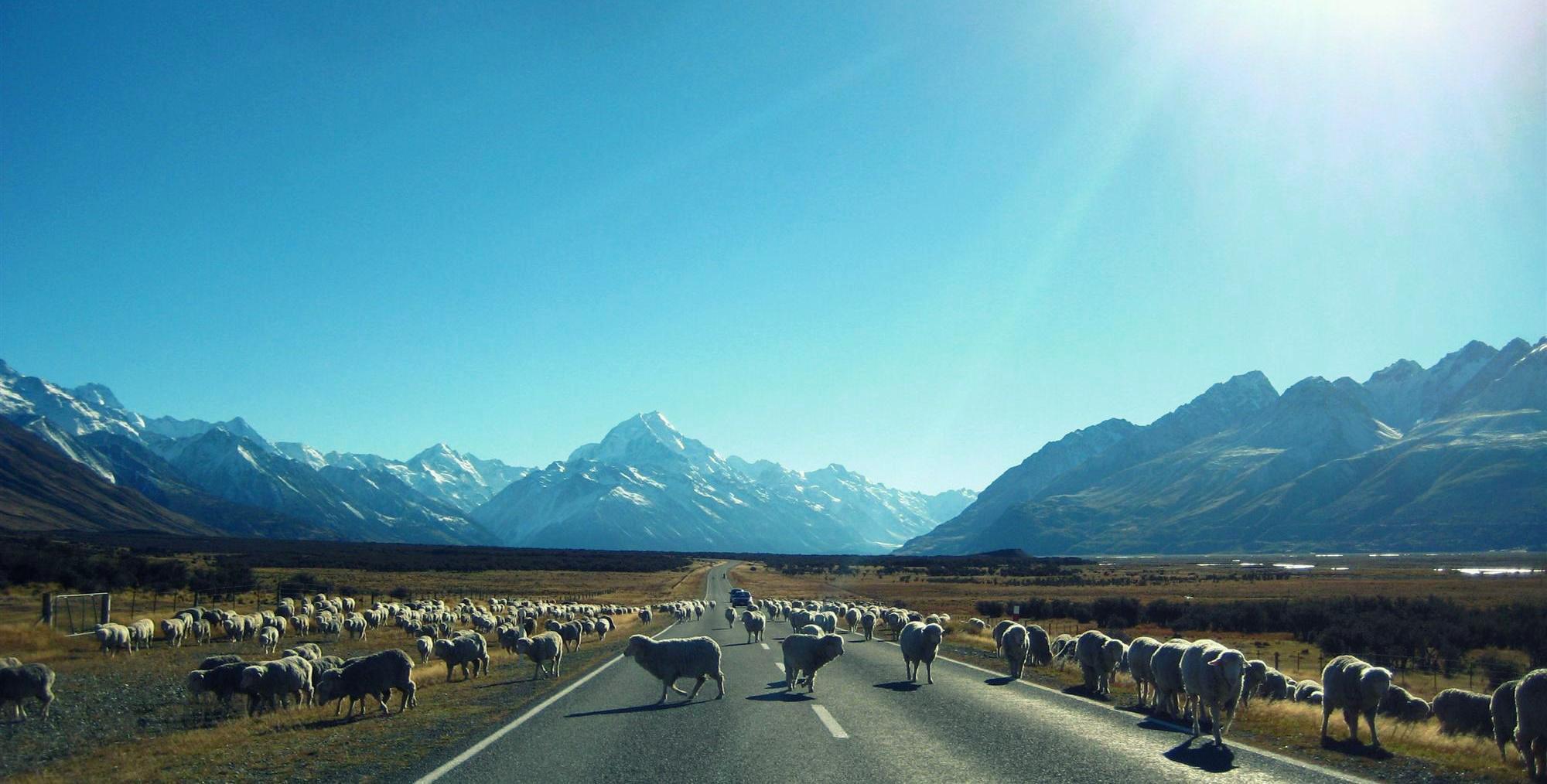 Sheep - Mt. Cook - New Zealand