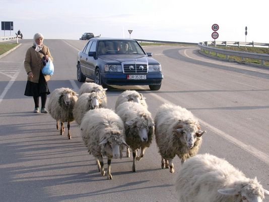 sheep on a highway between Durres and Tirana (Albania)