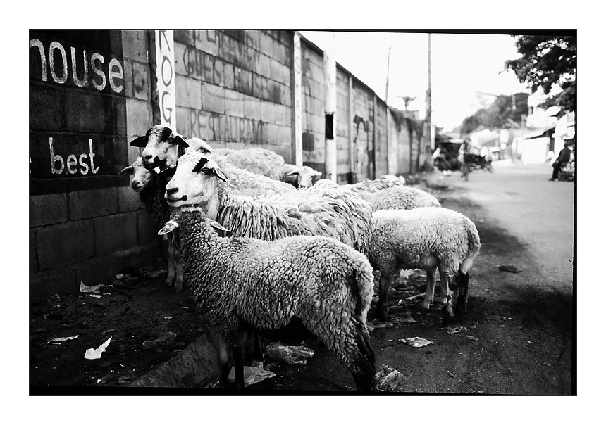 sheep sheep in Phnom Penh