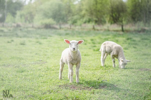 Sheepografie