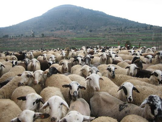 Sheeps waiting for the photo