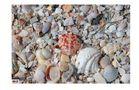 shell`s auf Senibal Island