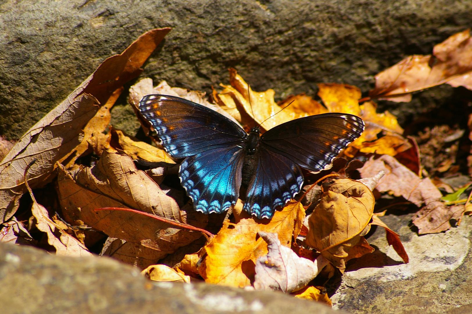 Shenandoah National Park - Schmetterling