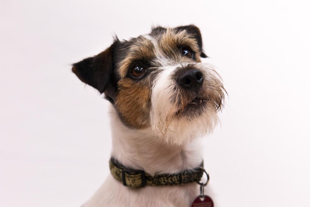 sherif der kleine terrier i foto bild tiere haustiere hunde bilder auf fotocommunity. Black Bedroom Furniture Sets. Home Design Ideas