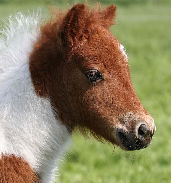 shetland fohlen mit ohren foto bild tiere haustiere pferde esel maultiere bilder auf. Black Bedroom Furniture Sets. Home Design Ideas