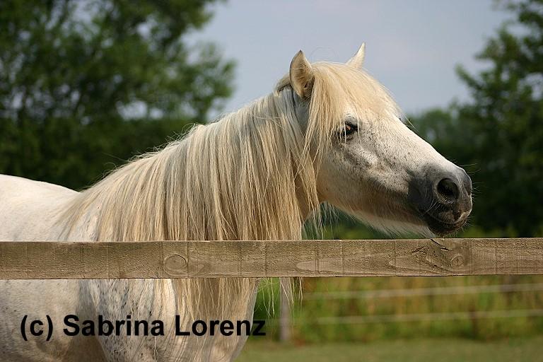 Shetland Pony:-)