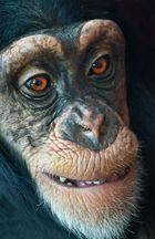 Shimpansen Kind