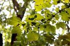 shining leaves