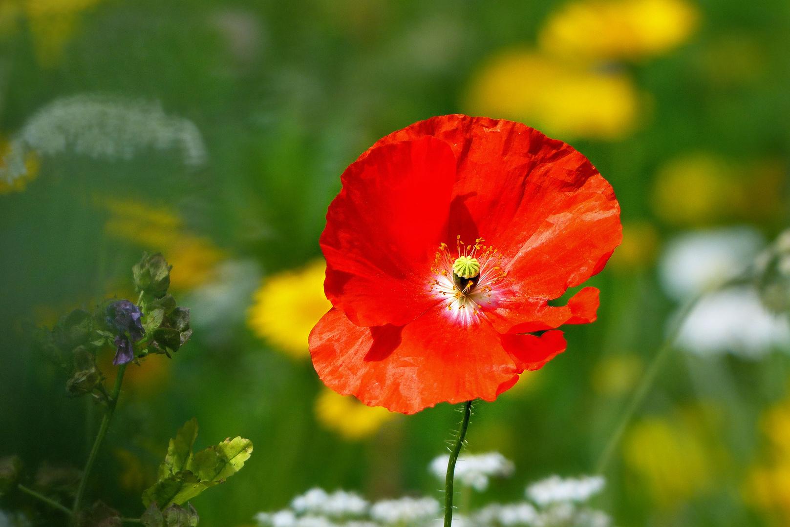 Shining poppy flower