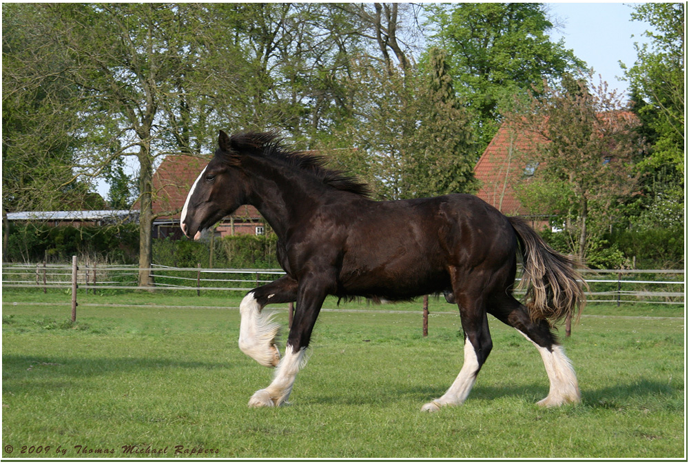 ** Shire Horse Hengst **
