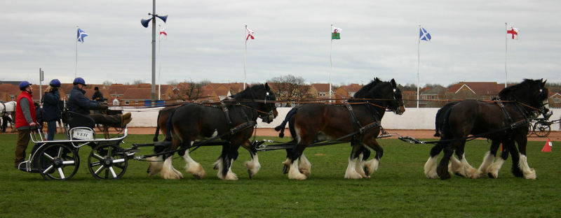 Shire Horse Sechsergespann