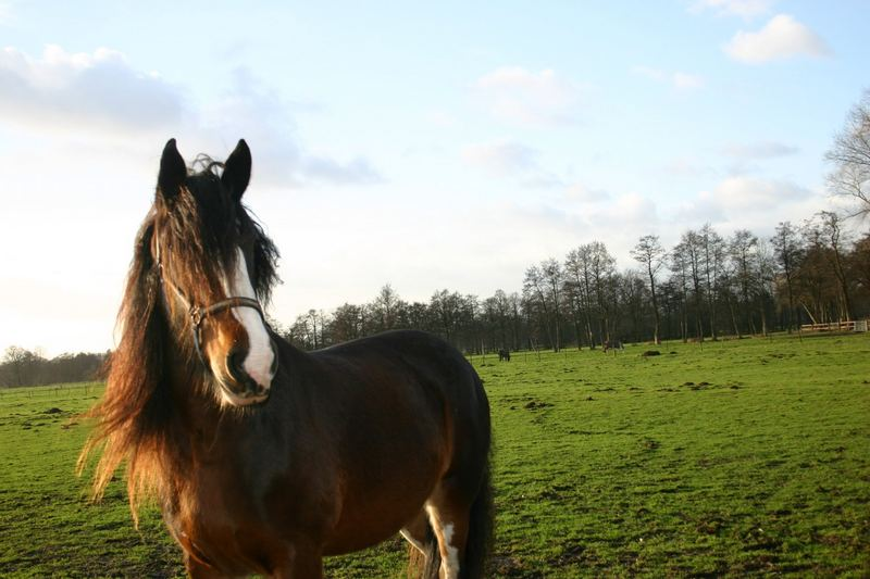 Shire Horse Stute