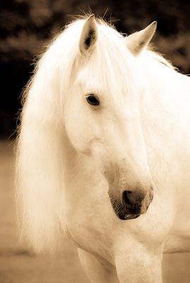 """Shire Horse Stute """" Anna"""" I"""