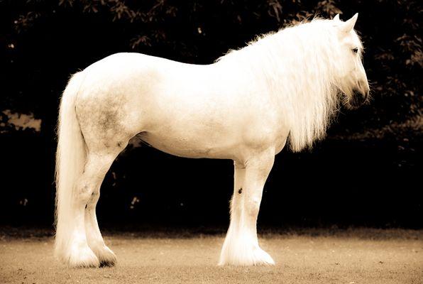 "Shire Horse Stute ""Anna"" II"