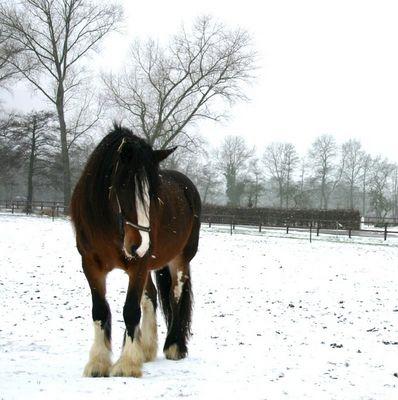 Shire Horse Stute im Schnee......