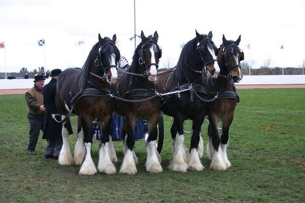 Shire Horse Vierergespann