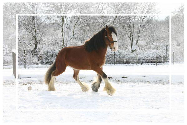 Shire x Clydesdale im Schnee