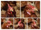 Shooting mit Hühnern