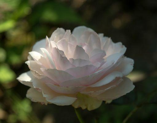 shropshire lad by david austin roses