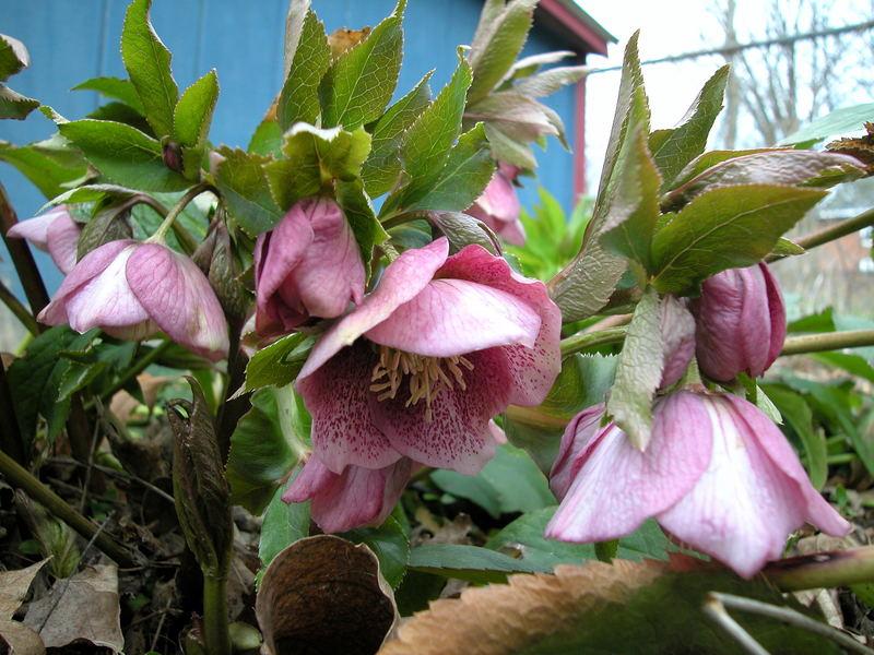 Shy March Flower