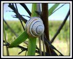 Shy snail