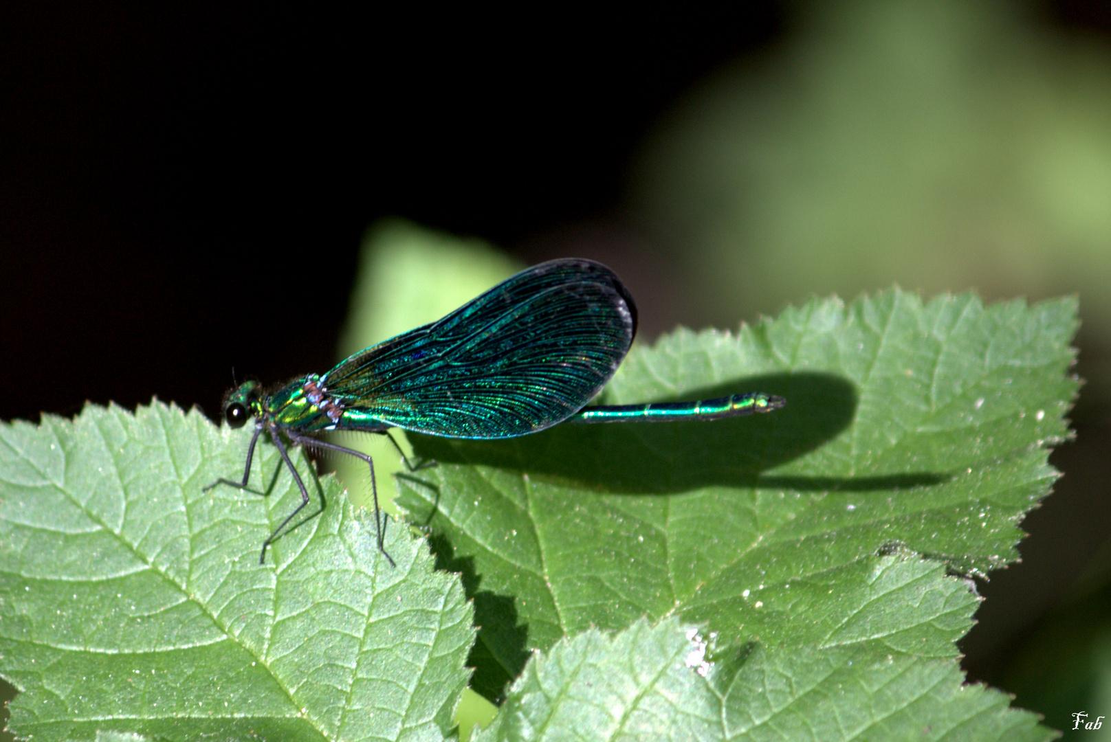 si belle libellule