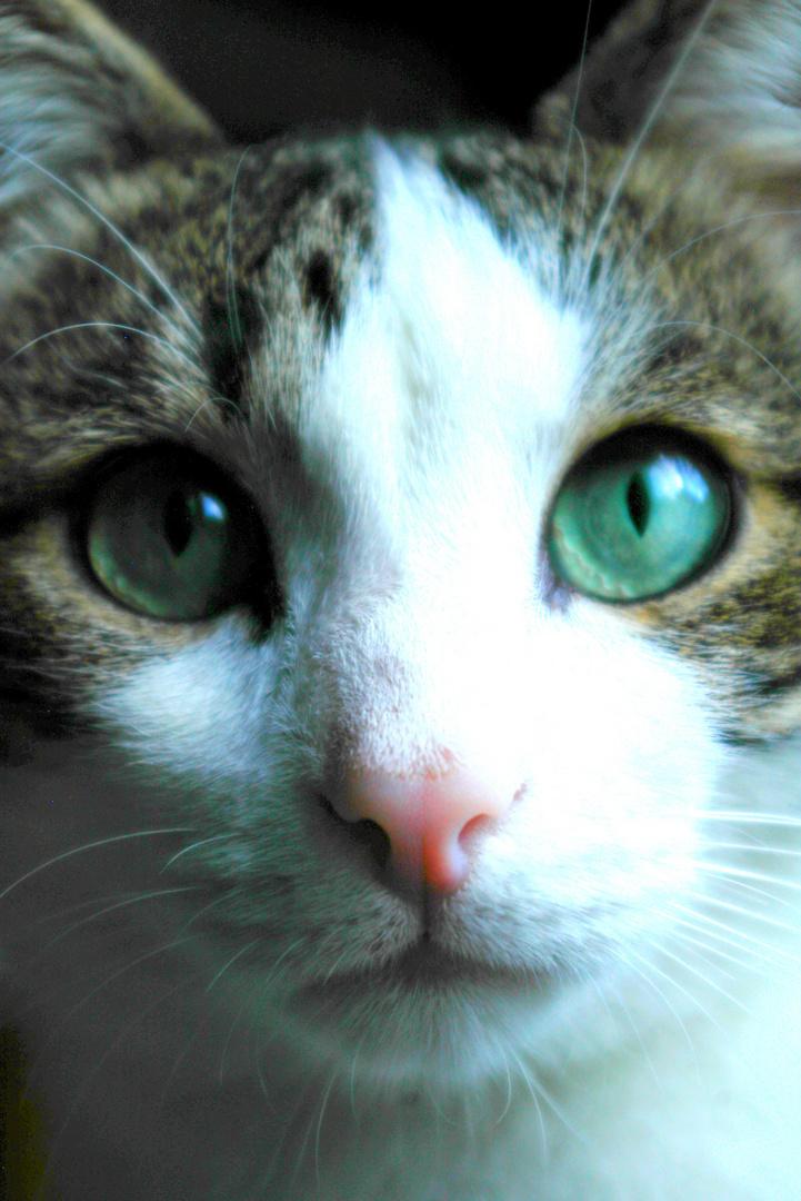 Si l'on pouvait croiser l'homme et le chat, ça améliorerait l'homme, mais ça dégraderait le chat.