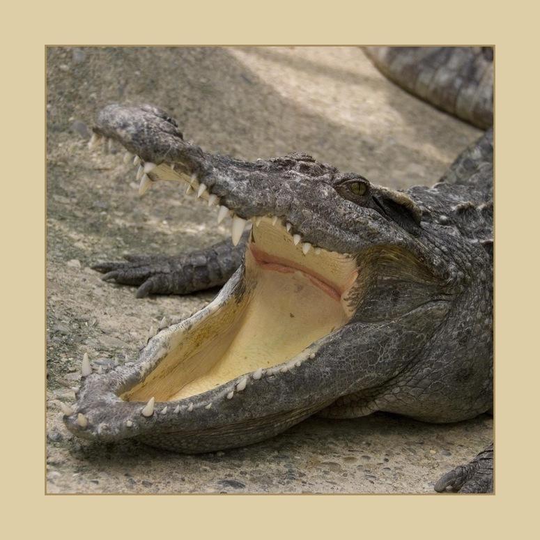 Siam-Krokodil