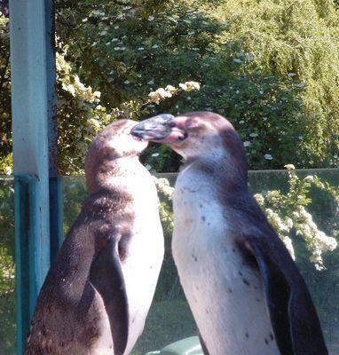 Siamesische Pinguine