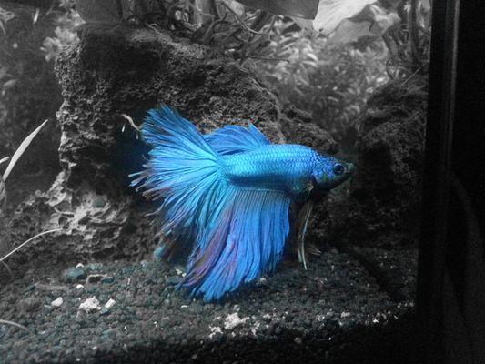 Kampffisch fotos bilder auf fotocommunity for Siamesischer kampffisch